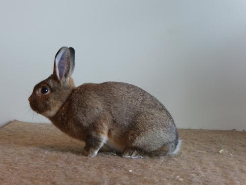 Kampioen konijnen: Klein Zilver midden konijngrijs, F96, van Piet van den Heuvel