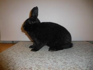 Mooiste konijn en mooiste jonge voedster, Klein Zilver Middenzwart, F 97, H. van Weelden