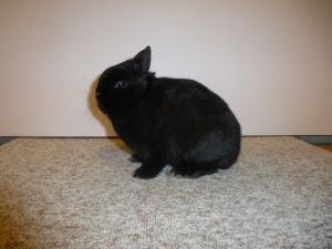 Mooiste konijn op 3 na en mooiste oude ram, Kleurdwerg zwart, F 95, jeugdlid Mara vd Poel