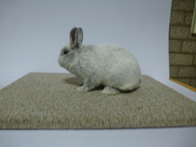 mooiste-konijn-c-klasse-klein-zilver-licht-zwart-f-965-w-den-otter