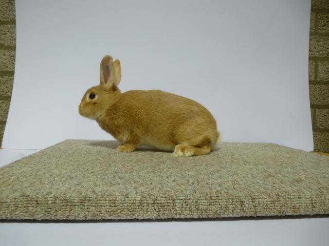 mooiste-konijn-c-klasse-op-1-na-klein-zilver-midden-geel-f-96-l-van-remmerde-van-bezooyen