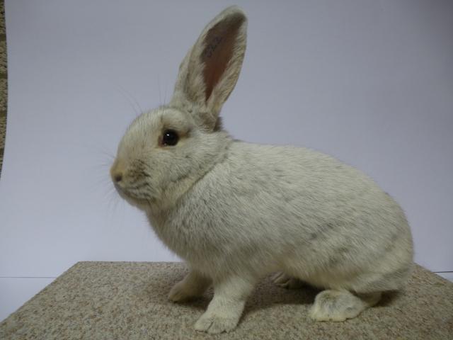 mooiste-konijn-groot-zilver-licht-konijngrijs-u-98-comb-van-den-heuvel
