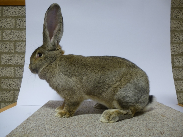mooiste-konijn-op-1-na-vlaams-reus-konijngrijs-u-98-a-timmer